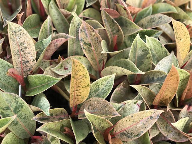 Ficus elastica shivereana | Plants in a Box