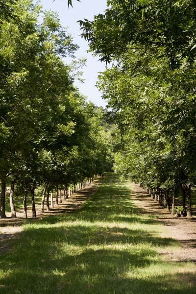 Our young Creek Pecan Orchard
