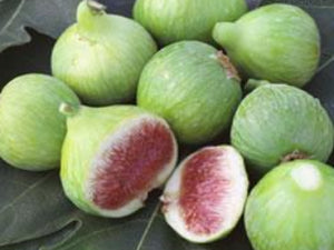 Conadria Fig