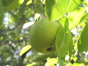 White Doyenne Pear