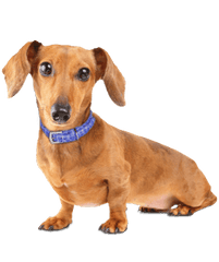 Mini Me: Dachshund for SCTD Dachshund Rescue