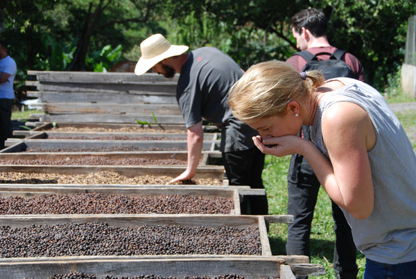 Selecting Cascara in Panama