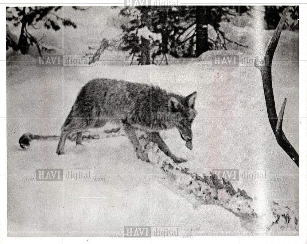 1976 Press Photo Coyote - Historic Images
