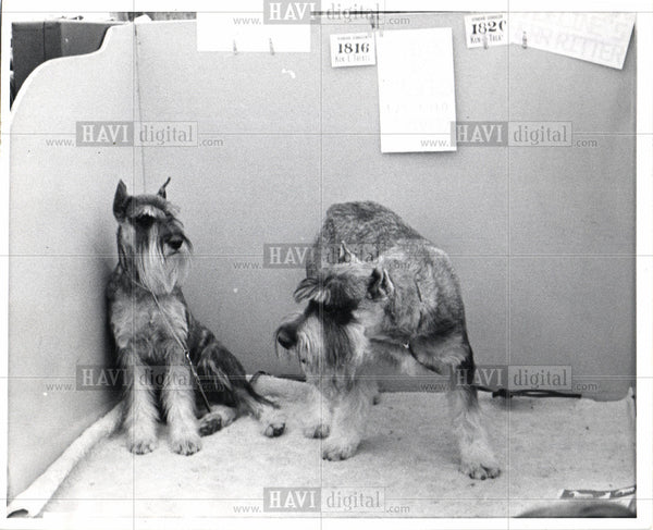 1918 Press Photo Dog Schnauzer - Historic Images