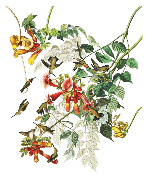 Plate 47: Ruby-Throated Hummingbird
