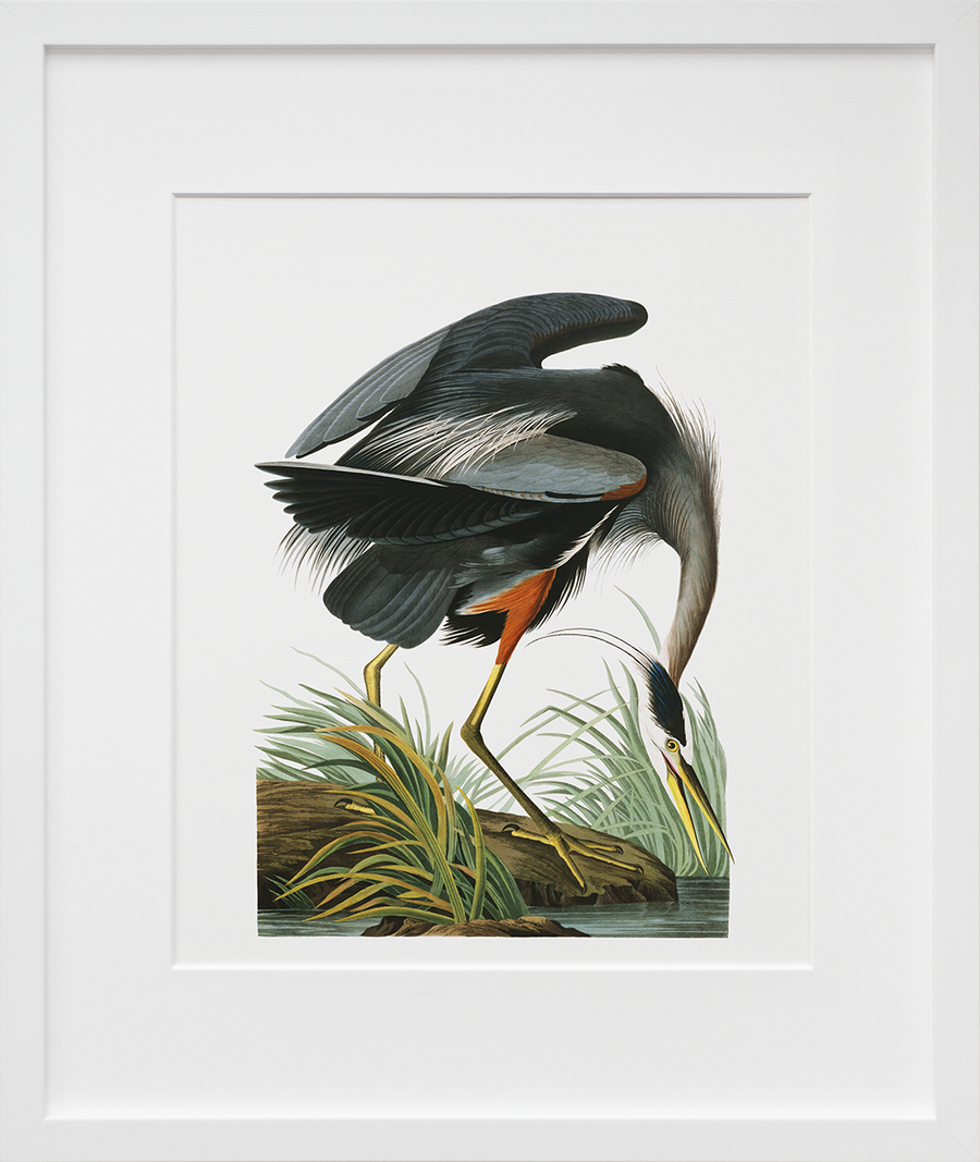 Plate 211: Great Blue Heron