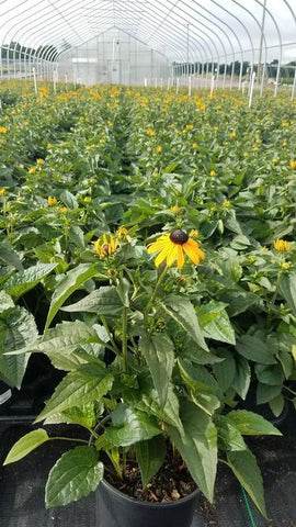 Black-Eyed Susan 'Goldsturm' - 1 Gal. Crop Shot for 2019-28