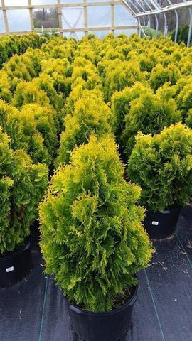 Arborvitae 'Jantar' - #5 Crop Shot for 2018-18