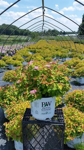Spirea 'Double Play® Big Bang™' - 3 Gal. Crop Shot for 2019-27