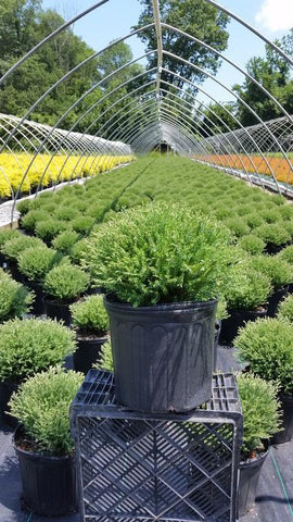 Arborvitae 'Mr. Bowling Ball®' - 3 Gal. Crop Shot for 2019-28