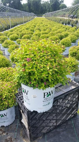 Spirea 'Double Play® Gold' - 3 Gal. Crop Shot for 2019-28
