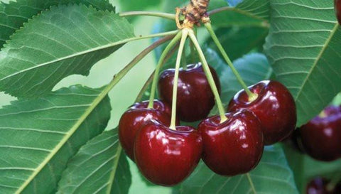 Prunus X 'Bing'-#7 Container<br />Bing Cherry