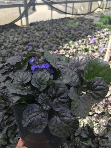 Bugleweed 'Black Scallop' - 1 Gal.