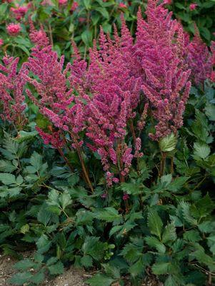 Astilbe chinensis 'Visions In Red'-#2 Container<br/>Visions in Red Astilbe