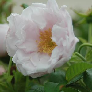 Rosa X 'Snow Pavement'-#3 Container<br/>Snow Pavement Rose