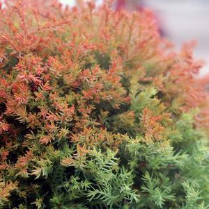 Thuja occidentalis 'Fire Chief' -#2 Container<br/>Fire Chief&#8482; Globe Arborvitae