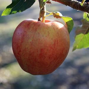 Malus X 'Fuji'-#7 Container<br/>Fuji Apple