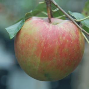 Malus X 'Royal Gala'-#7 Container<br/>Royal Gala Apple