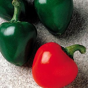 Pepper 'Cherry Bomb'-#1 Container<br/>Cherry Bomb Hot Pepper