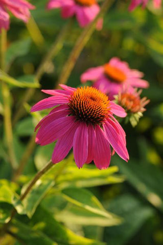 Echinacea purpurea 'Pow Wow&#174; Wildberry'-#2 Container<br/>Pow Wow&#174; Wildberry Coneflower