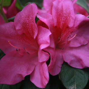 Rhododendron (Azalea) X Bloom-A-Thon&#174; 'Lavender'-#2 Container<br/>Bloom-A-Thon&#174; Lavender Reblooming Azalea