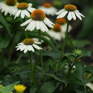 Echinacea purpurea 'Pow Wow&#174; White'-#1 Container<br/>Pow Wow&#174; White Coneflower