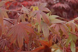 Acer palmatum 'Bloodgood'-#5 Container<br/>Bloodgood Japanese Maple