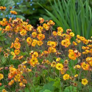 Geum Cocktail&#8482;  'Alabama Slammer'-#1 Container<br/>Cocktail&#8482; Alabama Slammer Avens