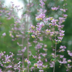 Thalictrum rochebrunianum-#2 Container<br/>Giant Meadow-rue
