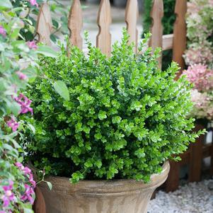 Buxus microphylla 'Sprinter&#174;'-#2 Container<br/>Sprinter&#174; Boxwood