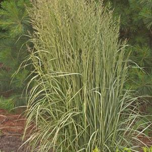 Calamagrostis acutiflora 'Karl Foerster'-#2 Container<br/>Avalanche Feather Reed Grass
