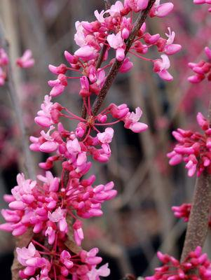 Cercis canadensis-#7 Container<br/>Red Bud