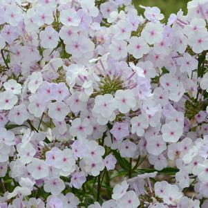 Phlox X Fashionably Early 'Lavender Ice'-8`` Container<br/>Lavander Ice Phlox
