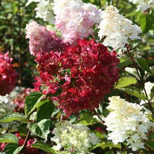 Hydrangea-Panicle 'Diamond Rouge®' - 3 Gal.
