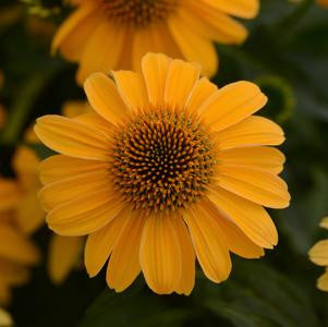 Coneflower 'Sombrero® Granada Gold' - 8 In.