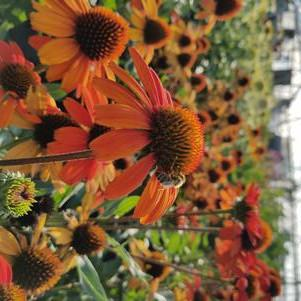 Coneflower 'Kismet™ Intense Orange' - 8 In.