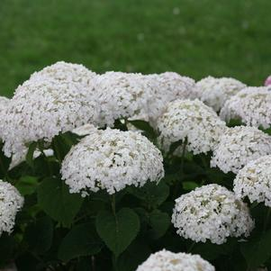 Hydrangea-Smooth 'Invincibelle Wee White®' - 2 Gal.