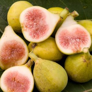 Ficus carica 'Peter's Honey' Fig-#3 Container<br/>Peter's Honey Fig