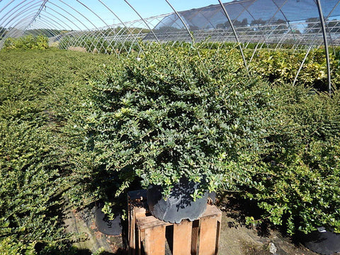 Dwarf Japanese Holly - #3 Crop Shot for 2017-40