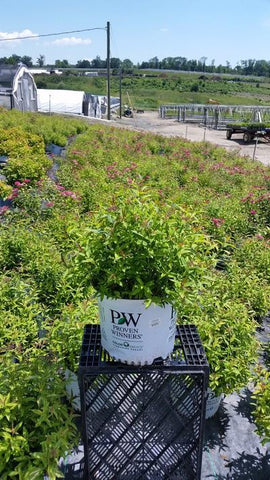 Spirea 'Double Play® Painted Lady™' - 3 Gal. Crop Shot for 2019-27