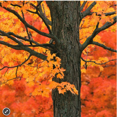 Zen Puzzles: New England Maple Tree