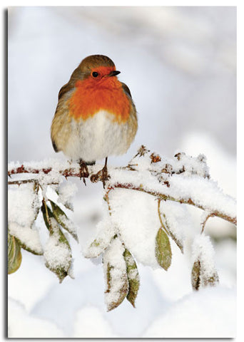 'Robin' Christmas cards, pack of 10