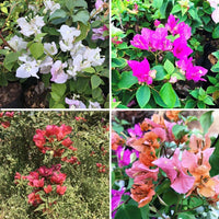Pack of 4 Colourful Bougainvillea Flowering Plants