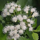 MIST FLOWER, FRAGRANT