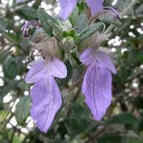 SILVER BUSH GERMANDER