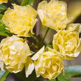 'LADY BANKSIA' ROSE