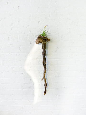 10% SALE LARGE Driftwood Cane Air Plant Wall Hanger