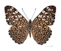 Variable Cracker Butterfly