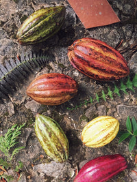 Miller Chocolate Ingredient Guide Raw Cacao in Pod made into bars with other natural and sustainably sourced ingredients. Delicious from bean to bar.