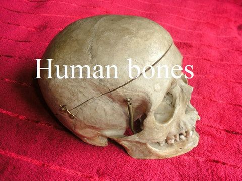 Human bones, skeletons and skulls
